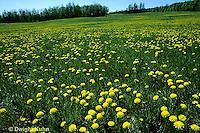 MD06-009b  Dandelion - spring meadow in flower - Taraxacum officinale