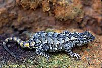 1R18-001b  Fence Lizard - Sceloporus undulatus