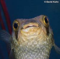 0228-1002  Porcupine Pufferfish (Spiny Balloonfish), Diodon holocanthus  © David Kuhn/Dwight Kuhn Photography.