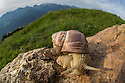 Roman / Edible Snail {Helix pomatia}, Nordtirol, Austrian Alps. June.