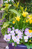 Viola pansies, dwarf Narcissus daffodil bulbs, Aucuba in blue ceramic pot container in spring