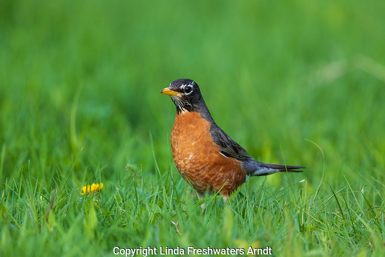 American robin looking for worms in a northern Wisconsin backyard.
