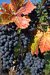 Italy, South tyrol (Alto Adige) Caldaro at the South Tyrolean Wine Route: blue grape-vine