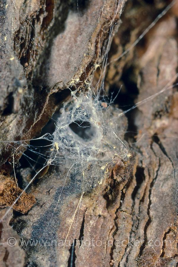 Fischernetzspinne, Gespinstschlauch, Netz, Trichternetz, Segestria senoculata, snake-back spider, Segestriidae, Fischernetzspinnen