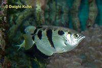 TP19-501z  Banded archerfish, Toxotes jaculatrix