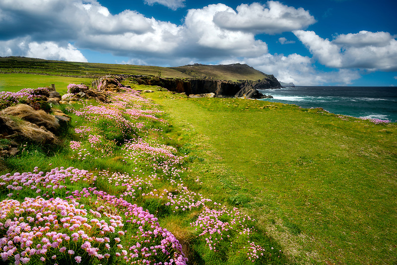 Flowers and coastline at Clogher's Head. County Kerry, Ireland