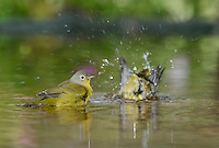 Nashville Warbler (Vermivora ruficapilla), adult bathing in pond, Hill Country, Texas, USA