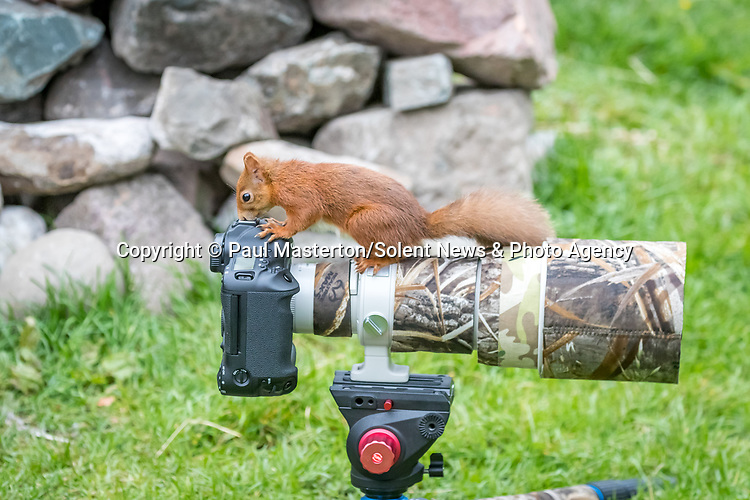 Pictured: An inquisitive squirrel takes a peek through a camera and appears to be working out the best shot.   The red squirrel, with its body outstretched, looks through the lens as it tries its hand at photography.<br /> <br /> The curious animal had just been eating hazelnuts and pine nuts from a miniature table before it noticed the unattended camera.   Photographer Paul Masterton captured the red squirrel peering into his camera near Glenshee, Scotland.   SEE OUR COPY FOR DETAILS<br /> <br /> Please byline: Paul Masterton/Solent News<br /> <br /> © Paul Masterton/Solent News & Photo Agency<br /> UK +44 (0) 2380 458800