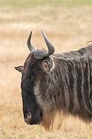 Wildebeest, Connochaetes taurinus, in Ngorongoro Crater, Ngorongoro Conservation Area, Tanzania