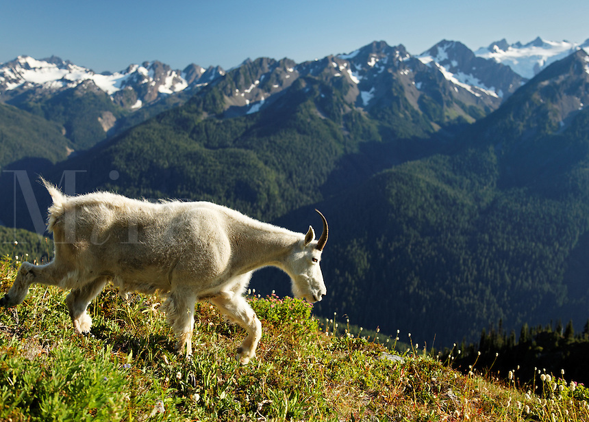 Mountain goat in Bailey Range overlooking Hoh River valley and Mount Olympus, Olympic Mountains, Olympic National Park, Washington