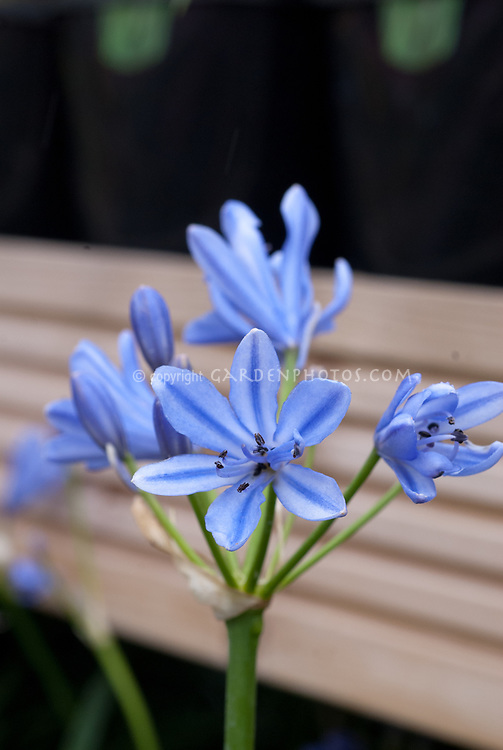 Agapanthus 'Blue Storm' = 'Atiblue' summer flowering bulb, Agapanthus x hybridus