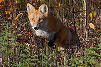 Red Fox (Vulpes vulpes) hunting voles near the Yukon/British Columbia border.  Sept.