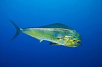 pelagic mahi mahi, dorado or dolphinfish, Coryphaena hippurus (dc), La Guaira Bank, Venezuela, South America, Caribbean, Atlantic (Caribbean Sea)