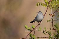 Gray Catbird (Dumetella carolinensis) on its breeding territory at Doodletown, Bear Mountain State Park, New York.