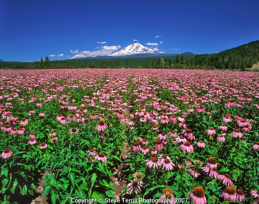 Field of echinacea flowers below Mt. Adams in Klickitat County, Washington