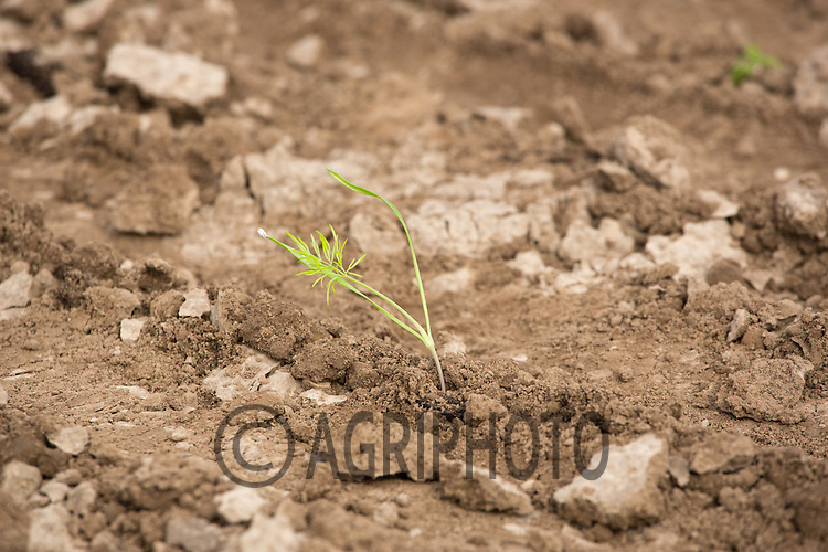 Fennel plants <br /> Picture Tim Scrivener 07850 303986 <br /> scrivphoto@btinternet.com<br /> ….covering agriculture in the UK….