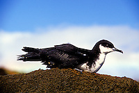 Newell's shearwater (ao or puffinus newelli), a threatened species that nests in mountains of Kauai.