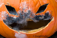 DC09-646z   Jack-o-Lantern Pumpkin placed in garden after Halloween. Molds growing on face,  Black Bread Mold, Rhizopus stolonifer