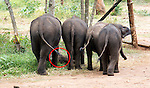 "TTouching elephant story - <br /> <br /> Namal and Hercules (smaller of the two)  - two ""disabled"" baby elephants that have formed a special friendship at Elephant Transit home in Sri Lanka.<br /> Namal has a false leg after being shot- probably caught in crossfire by ivory poachers - he was rescued by rangers and taken to elephant hospital where he underwent life saving surgery. He was later fitted with a prosthetic leg.<br /> <br /> Hercules was caught in a trap unscrupulous pet hunters, but again was rescued by national park rangers before being captured. Sadly he  now has a deformed kneed due to his injuries.<br /> A ""transit home"" is different to an ""orphanage"" because it is planned to return all the elephants to the wild once they are strong enough. But whether these two will ever be strong enough remains to be seen. <br /> There are wild herds of elephants in Uda Walawe National Park in the south of the island to which the transit home is attached.<br /> <br />  Many of the other 20 or so elephants were rejected by their mothers or their mothers were killed by poachers. <br /> Hercules and Namal are led out before the main group to protect them from the scrum for milk feeding. The main bunch follows them out and the pair are moved to the centre of the compound for safety. <br /> After milk feeding, grasses are spread around for elephants to feed on where they jockey for the best pickings three times a day. <br /> Again Hercules and Namal are kept back and allowed to stay after the main bunch has been led out so they can get their feed.<br /> During the main feeding Namal, 10 months old,  is very nervous due to his plastic leg . But plucky Hercules, just four months, ventures into the main bunch to get a drink from a nearby pond. <br /> Heartbreakingly he stumbles and drops several times to one knee. In the end the step down to the pond proves too much for him and he gives up.<br /> On the back back through the crowd to his chum Namal, Hercules is knocked my another elephant and falls over. A crowd of elephants gathers around him and it is feared h"