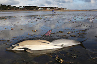 A dead common dolphin is marked as such at Herring River in Wellfleet.  In the background, an International Fund for Animal Welfare (IFAW) volunteer monitors the breathing of a live stranded common dolphin while an IFAW team moves another dolphin to a waiting vehicle to potentially be released.