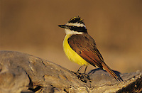 Great Kiskadee, Pitangus sulphuratus, adult with crest raised, Starr County, Rio Grande Valley, Texas, USA, April 2002