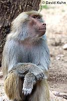 0719-1102  Female Hamadryas Baboon, Papio hamadryas  © David Kuhn/Dwight Kuhn Photography.