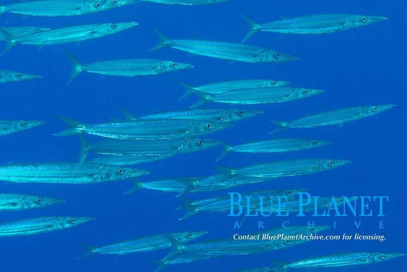 Heller's barracuda or kawelea, Sphyraena helleri, Puako, South Kohala, Kona Coast, Hawaii (Central Pacific Ocean)