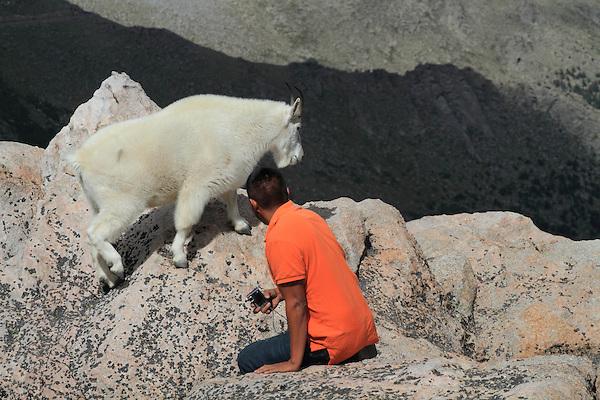 Hispanic man and Mountain Goat, Oreamnos americanus (species), Mount Evans Wilderness Area west of Denver, Colorado.