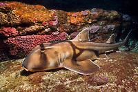 Port Jackson horn shark, Heterodontus portusjacksoni, New South Wales, Australia, Pacific Ocean