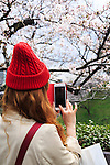 A woman takes pictures of the cherry blossoms in full bloom at Chidorigafuchi on April 1, 2016, Tokyo, Japan. On Thursday, the Japan Meteorological Agency announced that Tokyo's cherry trees were in full bloom, three days earlier than usual, but two days later than last year. Chidorigafuchi is one of the most popular spots during this season, where thousands of visitors come to see the cherry blossom trees that line the Imperial Palace moat. (Photo by Rodrigo Reyes Marin/AFLO)
