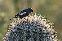 A male Lark Bunting, Calamospiza melanocorys, perches on a Saguaro cactus, Carnegiea gigantea, in Saguaro National Park, Arizona