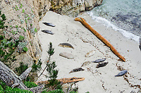 Harbor seals (Phoca vitulina) resting on secluded beach.   Point Lobos State Natural Reserve, California Coast.