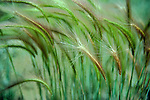 foxtail barley grass, Boulder, Colorado, abtract, summer