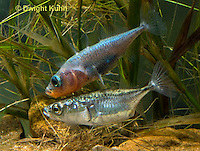 1S53-518z  Threespine Stickleback, male showing gravid female the entrance to his nest, Marine form, Gasterosteus aculeatus