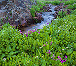 San Juan Mountains, CO<br /> Marsh marigolds (Caltha leptosepala) and Parry's primrose (Primula parryi) blooming along a small stream on Stony Pass
