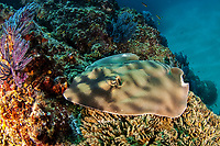 banded guitarfish, Zapteryx exasperata, Los Cabos Sea of Cortez Baja California Mexico