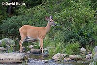 0623-1007  Northern (Woodland) White-tailed Deer, Odocoileus virginianus borealis  © David Kuhn/Dwight Kuhn Photography