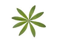 Waldmeister, Wald-Meister, Blattquirl, Galium odoratum, Sweet Woodruff, Aspérule odorante. Blatt, Blätter, leaf, leaves