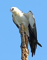 Juvenile swallow-tailed kite