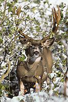 Mule deer buck (Odocoileus hemionus) among sage.  Western U.S.. October.