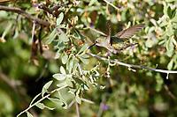 Anna's Hummingbird (Calypte anna), female foraging at the Riparian Preserve at Water Ranch, Gilbert, Arizona.