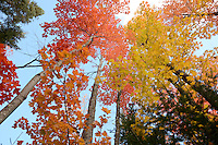 The sun illuminating the trees overhead to create a brilliant display. Marquette, MI
