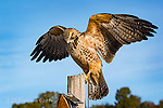 Swainson's Hawk, Chino Valley, Arizona ©2016 James D Peterson.  This magnificent raptor resides at an shelter for birds of prey that cannot be returned to the wild, either because they have been injured or because they were raised in captivity.