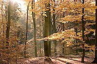 Herbstlicher Buchenwald, Rot-Buche, Buche, leuchtende Herbstfarbe, Blätter, Herbstlaub, Fagus sylvatica, Common Beech