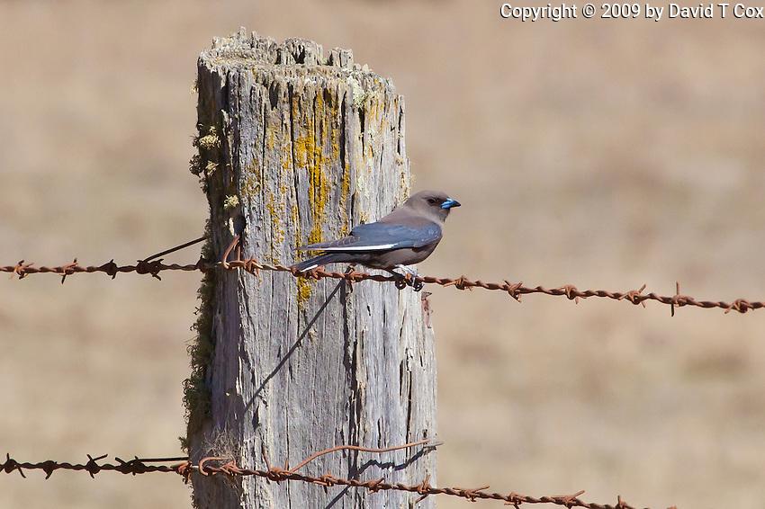 Dusky Wood-Swallow, Wolgan Valley, NSW, Australia