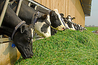 Cows are zero grazing before turn-out.