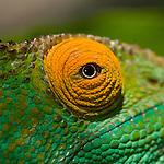 Female Parson's Chameleon (Calumma parsoni) - close up of the eye. Ranomafana NP, south eastern Madagascar