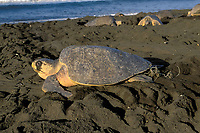 female olive ridley sea turtle, Lepidochelys olivacea, on nesting beach, tangled in fishing line, Playa Ostional, Costa Rica, Pacific Ocean