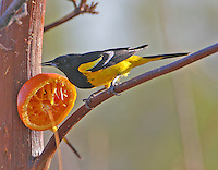Adult male Scott's oriole eating from an orange