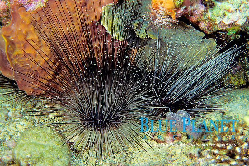 mysid or opossum shrimp sheltering in sea urchin, Diadema antillarium, Commonwealth of Dominica (Eastern Caribbean Sea), Atlantic